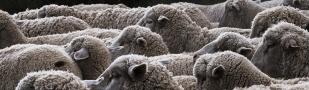 La naturaleza de una oveja (Audio)